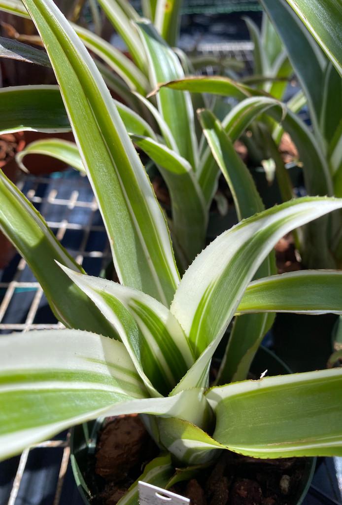 Billbergia amoena v. stolenifera, albomarginated