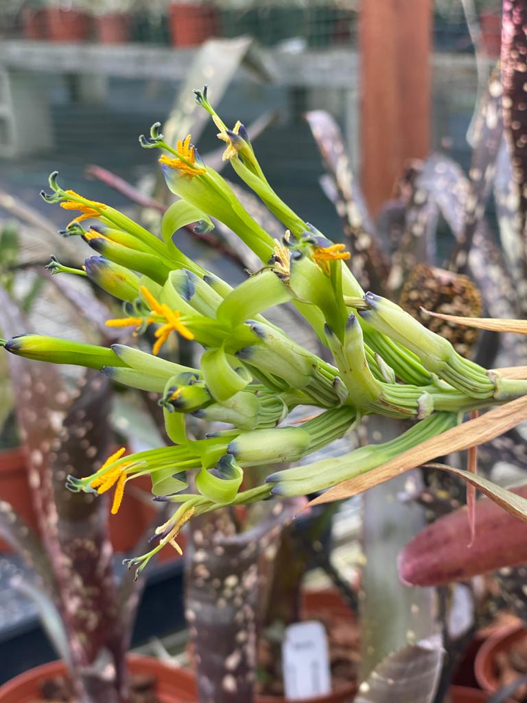 Billbergia Lambada