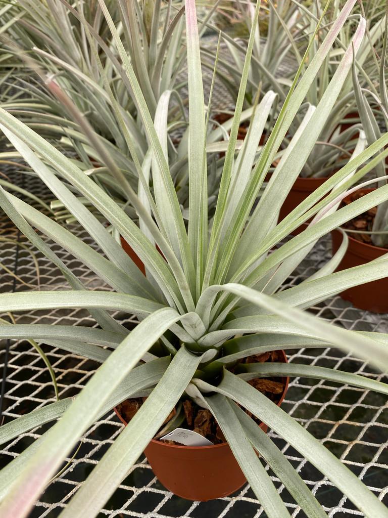 Tillandsia fasciculata X xerographica