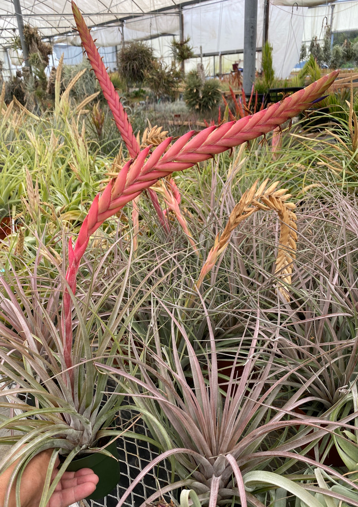 Tillandsia chiapensis (Giant) X ?