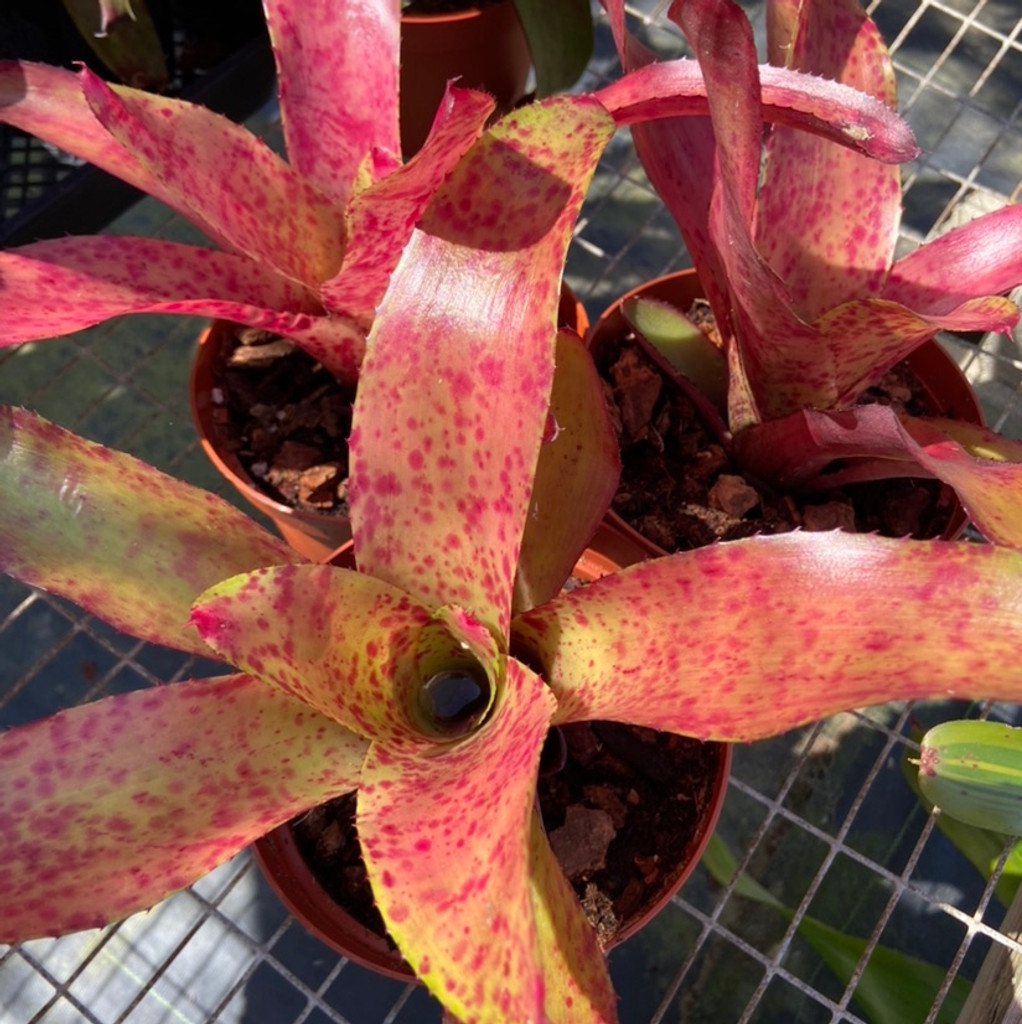 Neoregelia Aussie Dream cv. 'Lovely Lady'