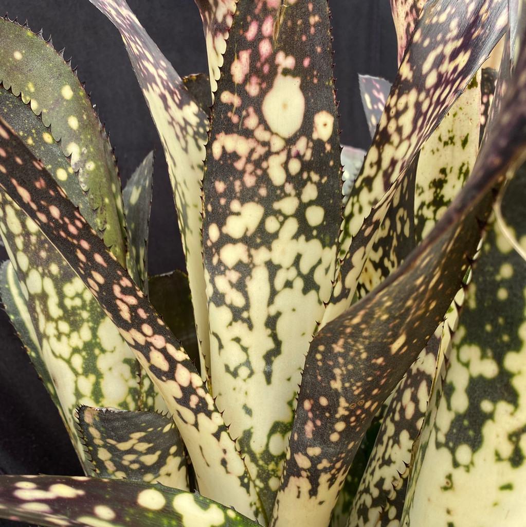 Billbergia Merrie Monarch