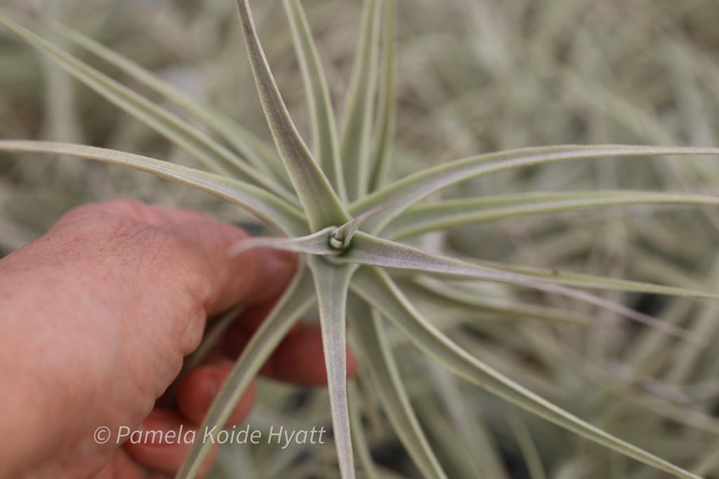 Tillandsia purpurea (Clone B)