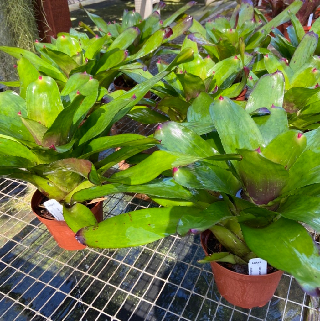 Neoregelia Green Apple