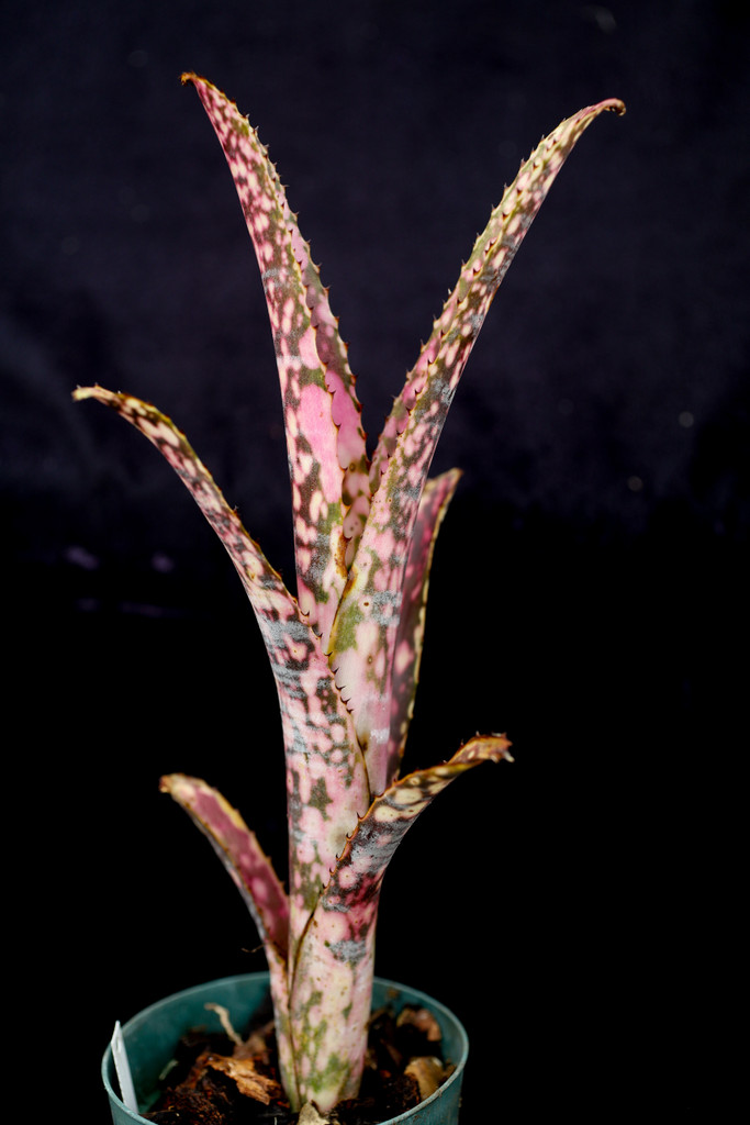 Billbergia Hot Blooded