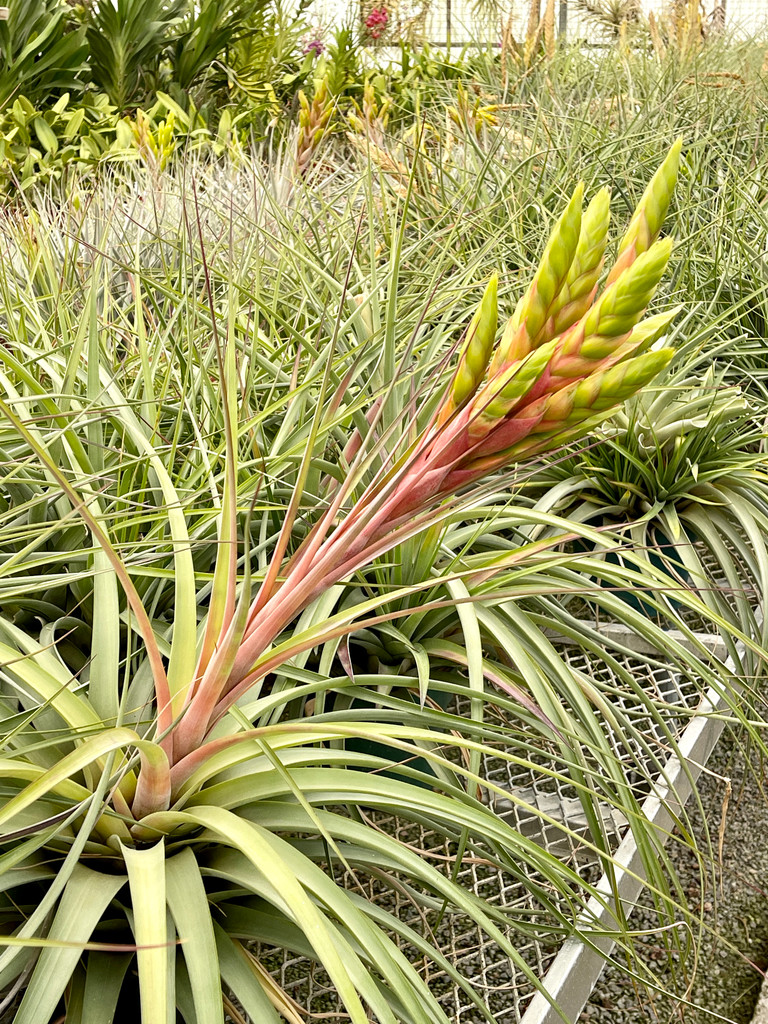 Tillandsia Chacalapa X fasciculata