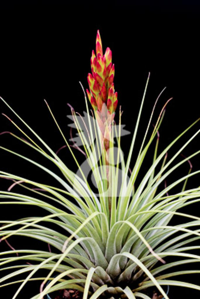 Tillandsia Bird Rock Sparkler - (T. rotundata X tricolor)