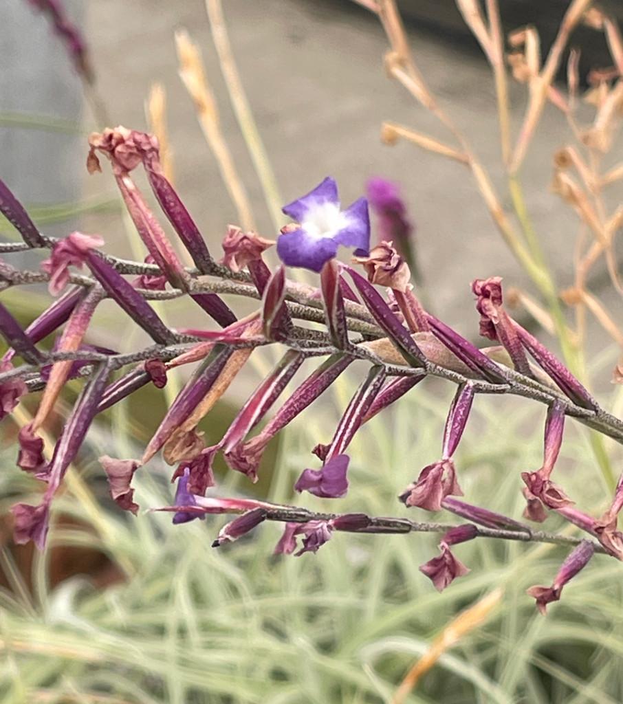 T. purpurea X caerulea