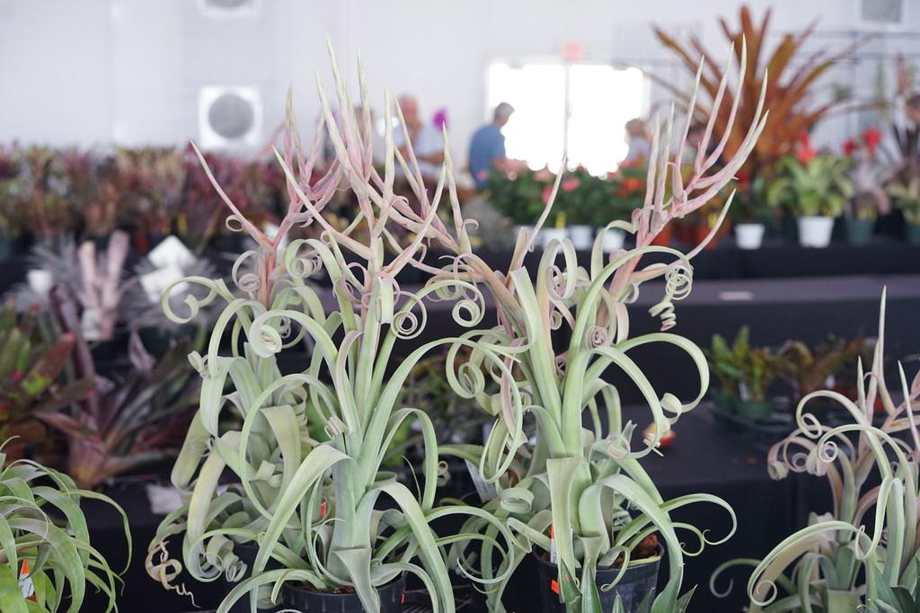 Blooming T. Curly Slim