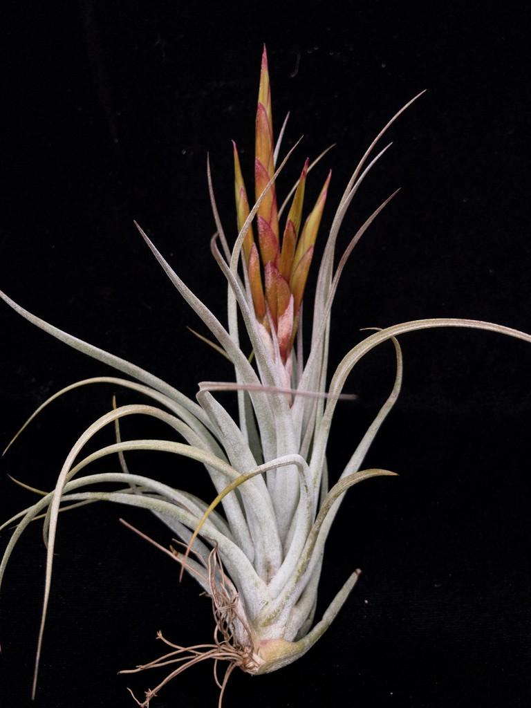 Tillandsia Queen's Marvel - (Tillandsia concolor X  pueblensis)