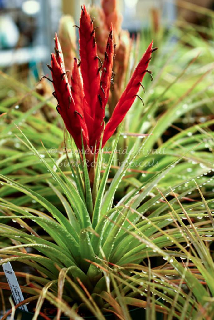 Tillandsia Mayan Princess (T. rhomboidea x fasciculata 'Percal')
