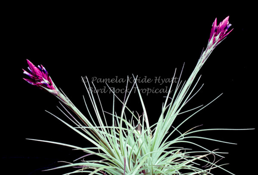 Tillandsia floribunda small form, (Ecuador)