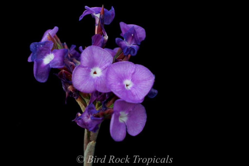 Tillandsia streptocarpa 'Orchid'