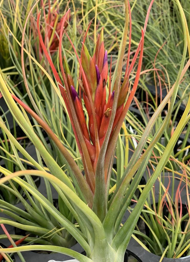 Tillandsia Queen's Dazzle - (T. concolor x bulbosa)
