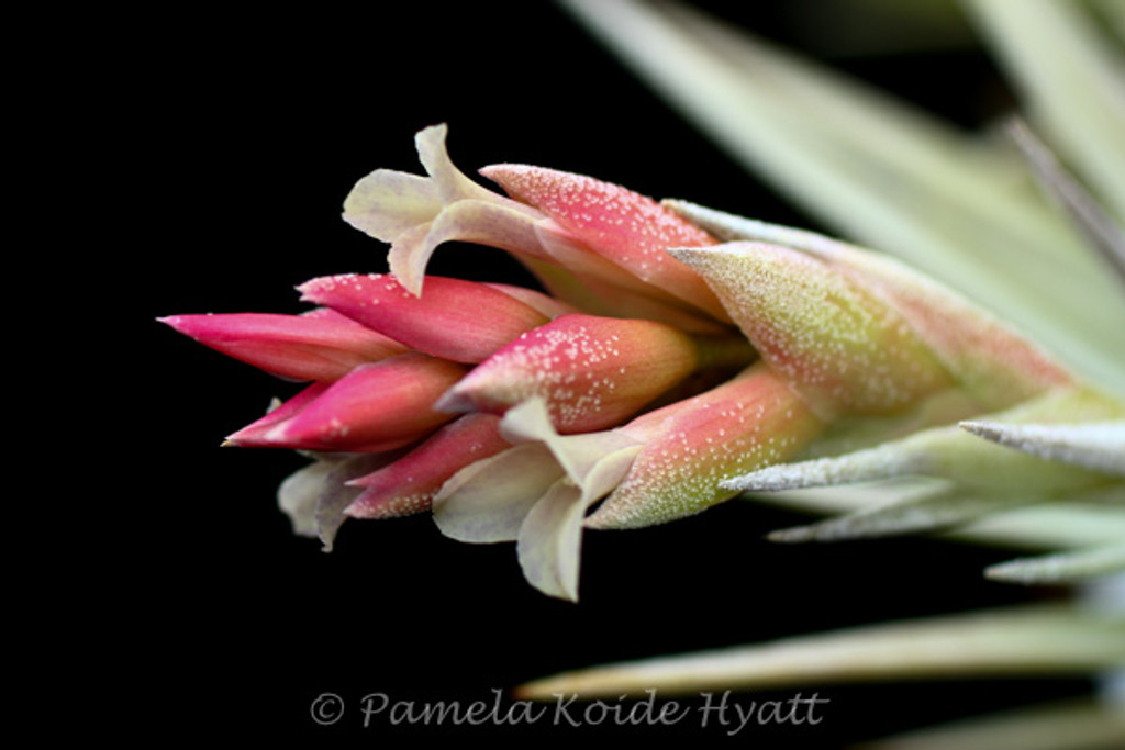 Tillandsia Mini Star - (T. neglecta X ixioides)
