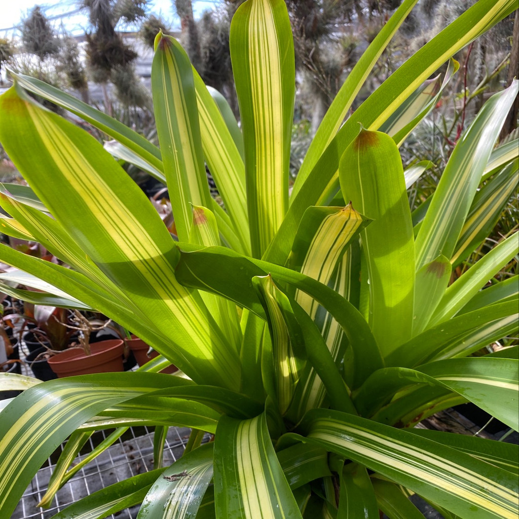 Vriesea phillippocoburgii (variegated)