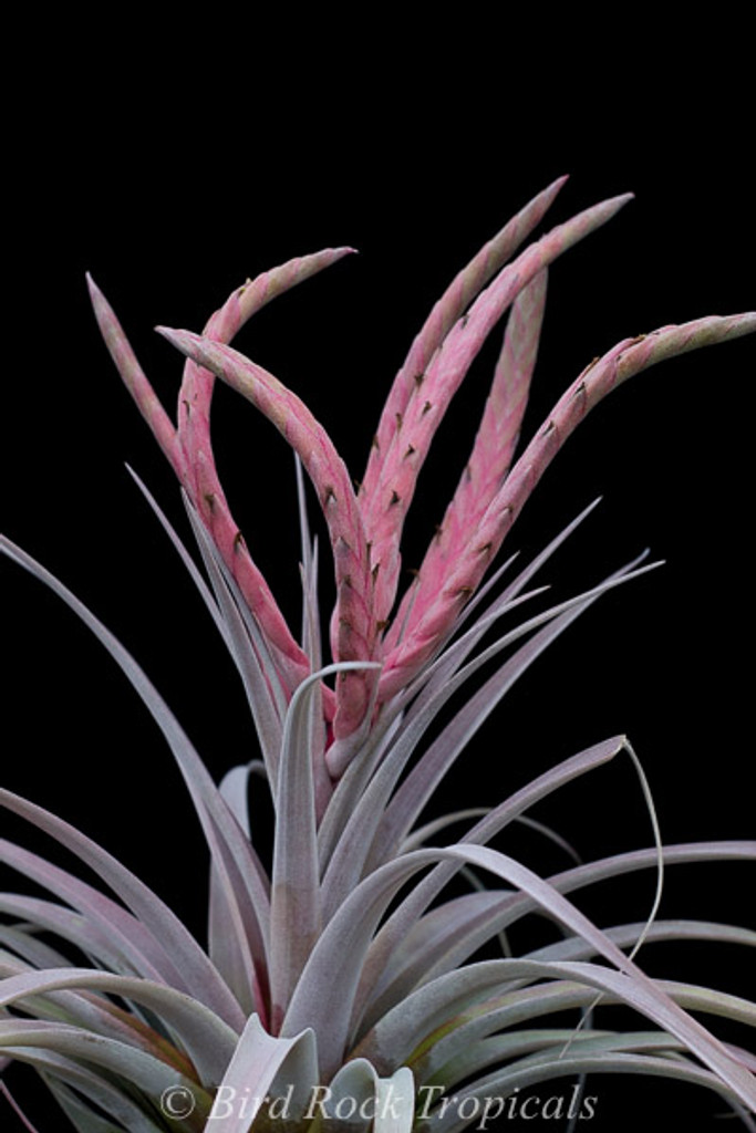 Tillandsia Cyclone - (T. chiapensis (Giant) X roland-gosselinii)