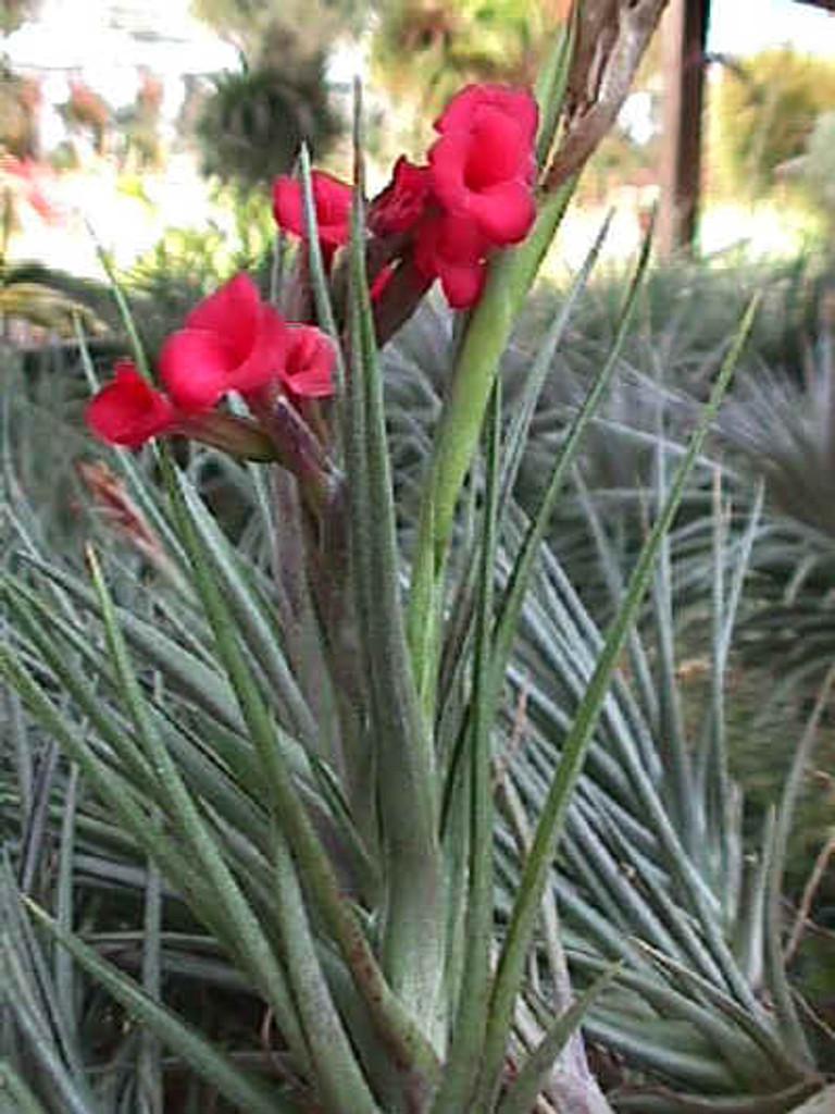 Tillandsia Mystic Twins - (T. albertiana x geminiflora)
