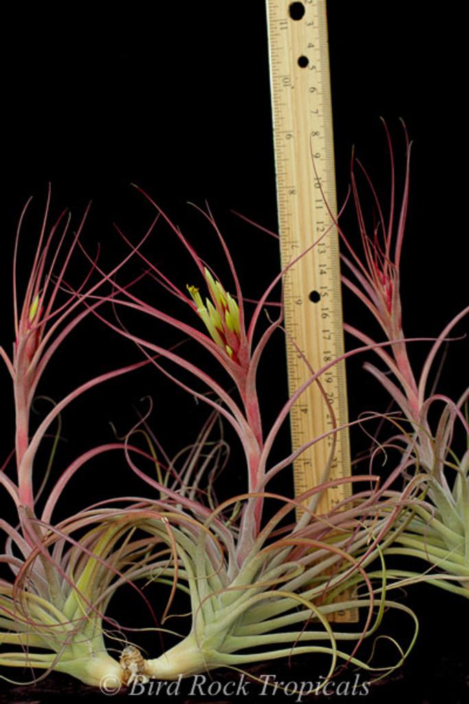Tillandsia Starburst (T.brachycaulos x schiedeana, spiral form)