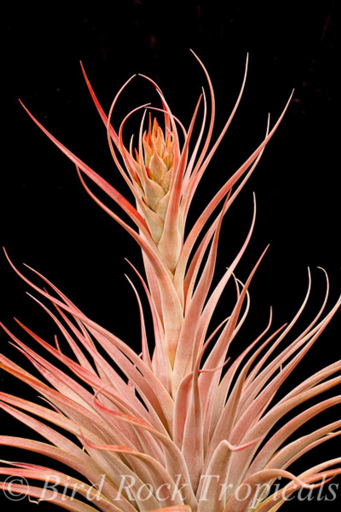 Tillandsia capitata 'Mexico Peach' x fasciculata - Oaxaca, Mexico