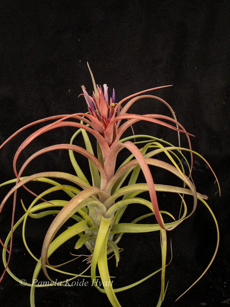 Tillandsia Eric Knobloch - (T. brachycaulos X streptophylla), Mexico