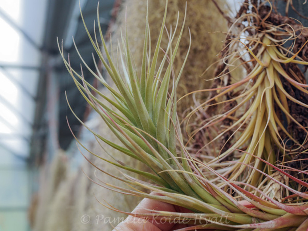 Tillandsia Feather Ware -  (T. albida x funckiana)