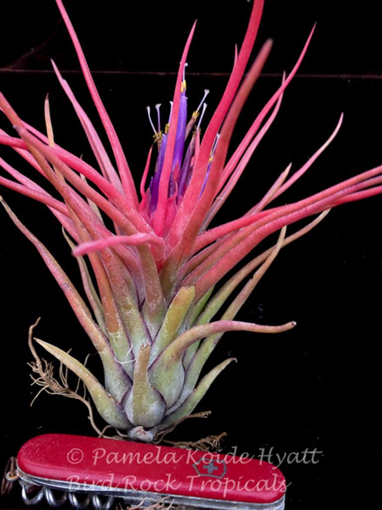 Tillandsia Derek -  (T. bulbosa X  ionantha)