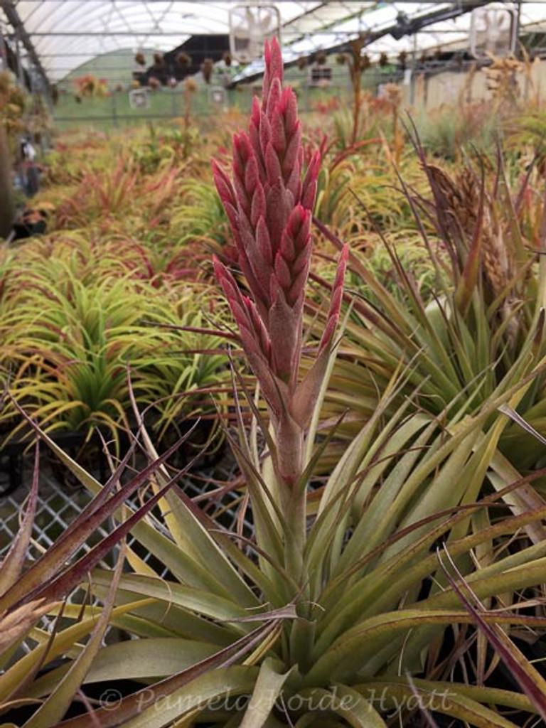 Tillandsia Jungle Gem -  (T. geminiflora X latifolia)
