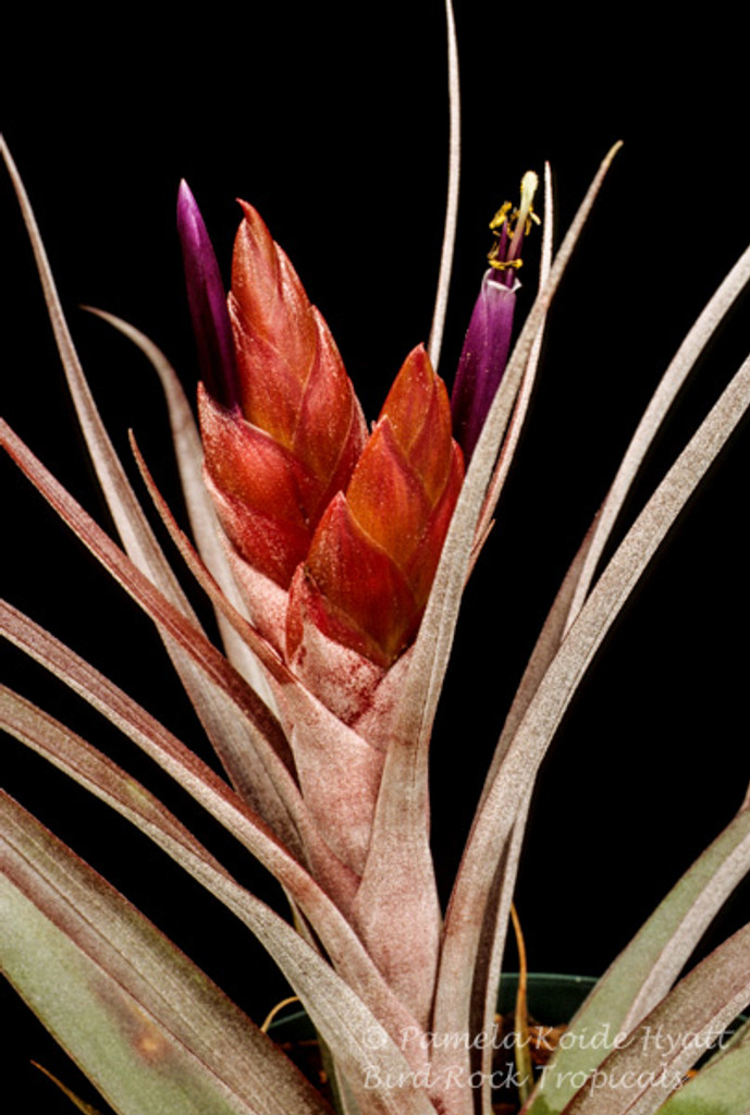 Tillandsia Nellie Rose -  (T. jalisco-monticola x capitata 'Rubra')
