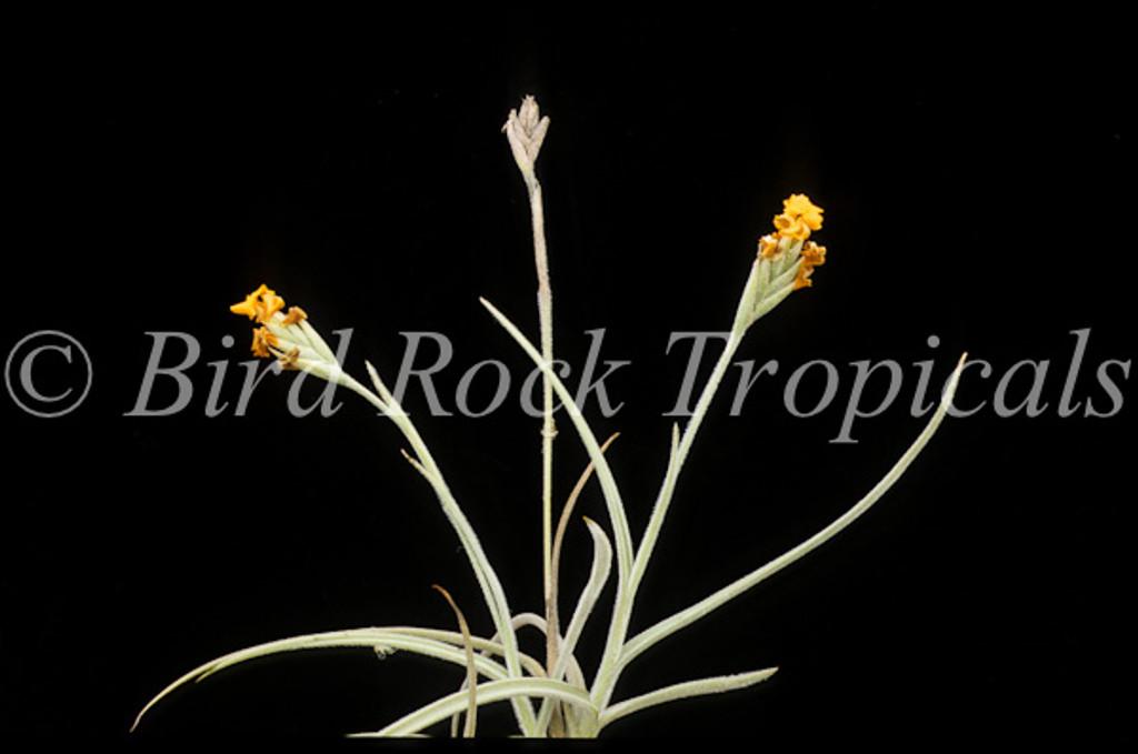 Tillandsia crocata Copper Penny (orange flowers)