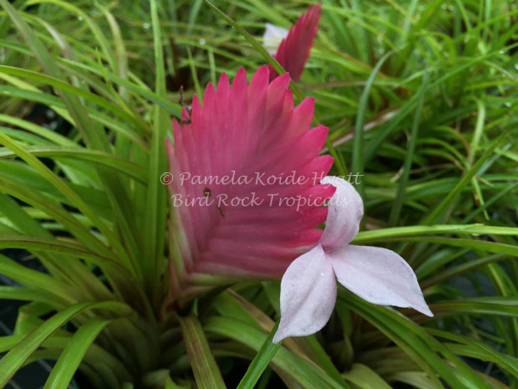 Wallisia (Tillandsia) cyanea 'Anita' (rare pink flowers)