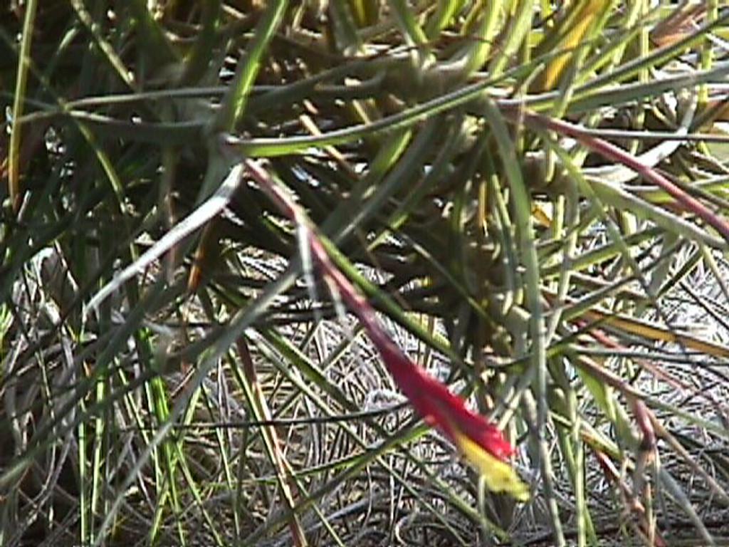 Tillandsia schiedeana subsp. schiedeana, (minor form)