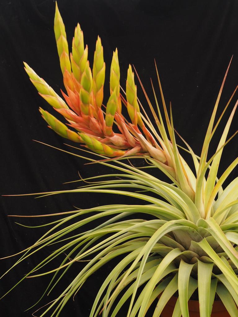 Tillandsia fasciculata aff. (Petalan, Guerrero)