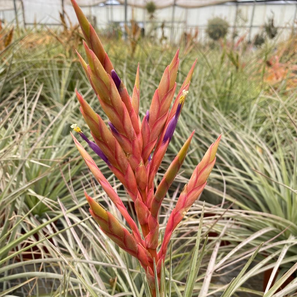 Tillandsia fasciculata v. densispica (Dominican Republic)
