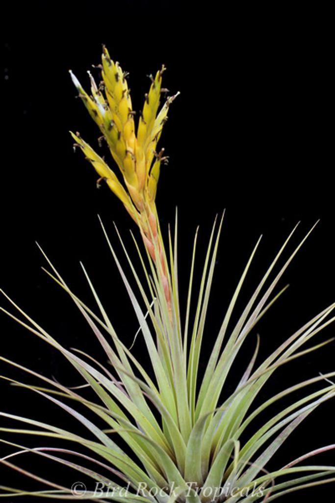 Tillandsia fasciculata v. densispica forma alba