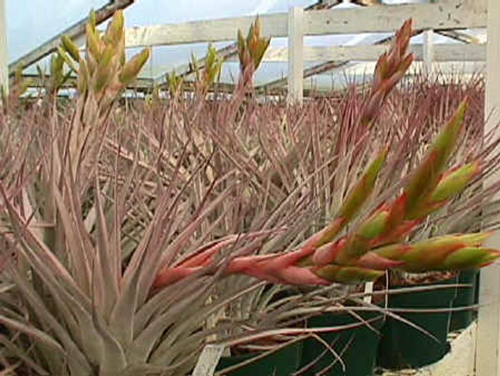 Tillandsia fasciculata v. fasciculata (Honduras)