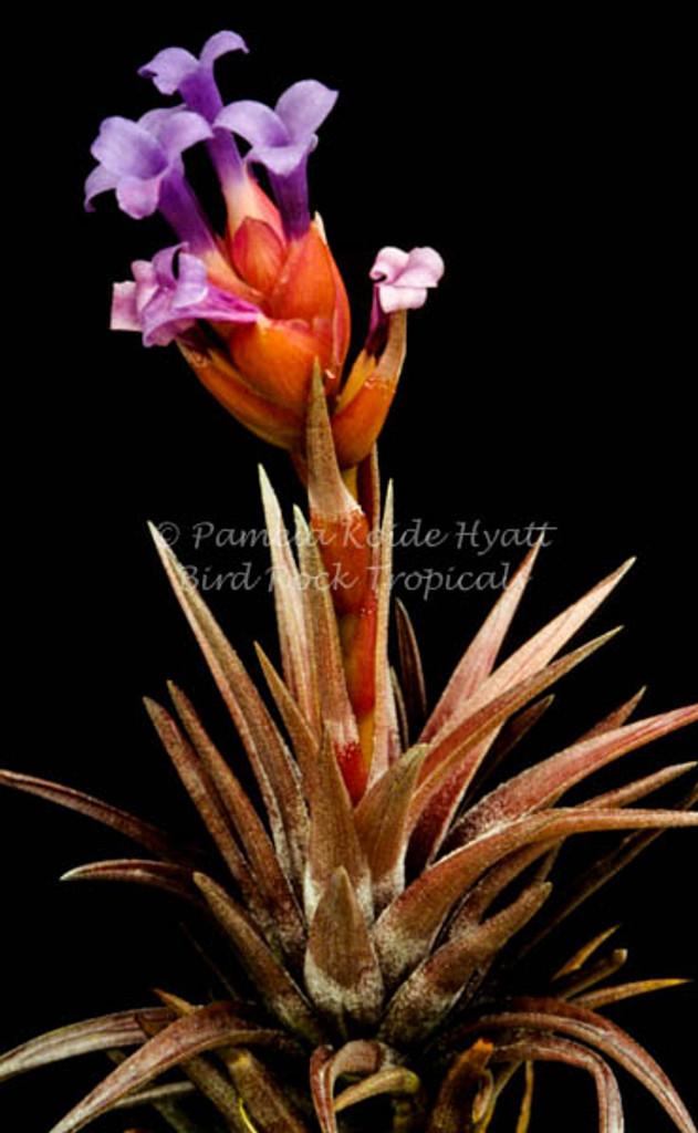 Tillandsia neglecta (red/bronze form)