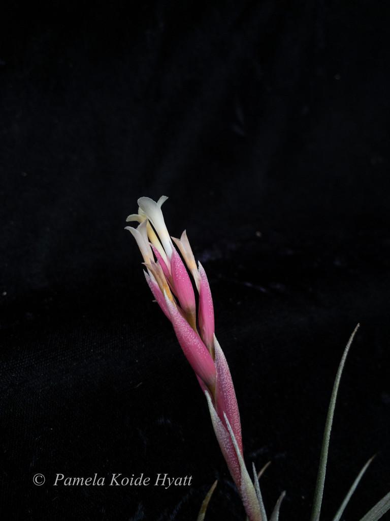 Tillandsia jucunda v. jucunda