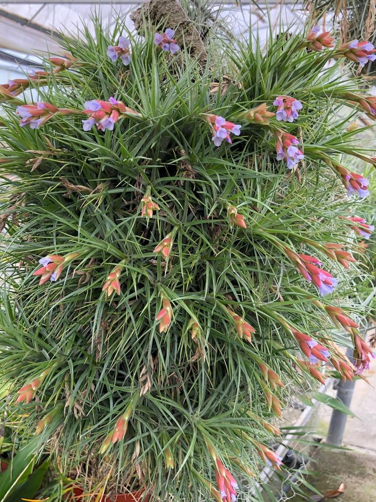 Tillandsia tenuifolia v. surinamensis