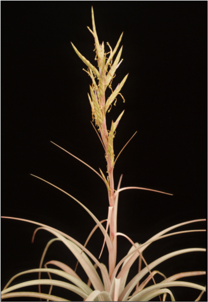Tillandsia mazatlanensis