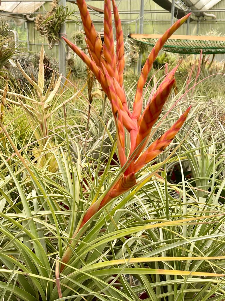 Tillandsia fasciculata var. uncispica  x schusteri