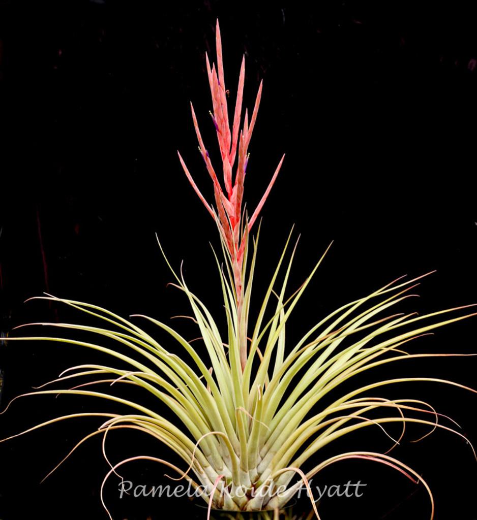 Tillandsia  fasciculata v. densispica (DR) x subteres