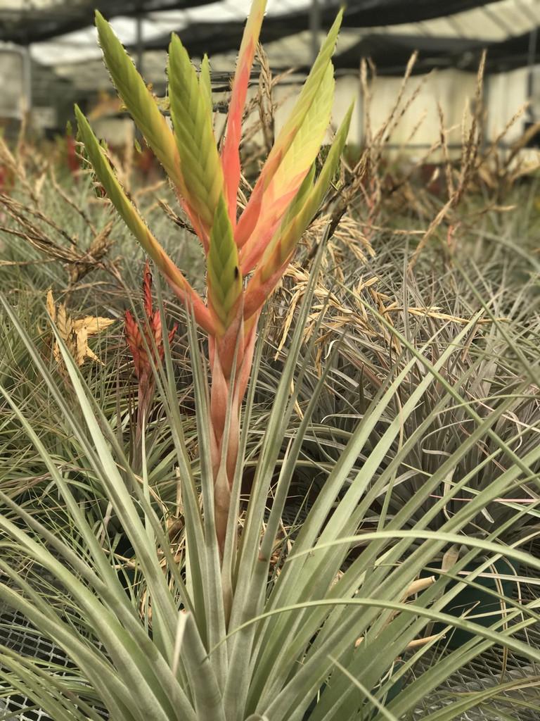 Tillandsia Aztec Flame (T.  jalisco-monticola x dugesii)