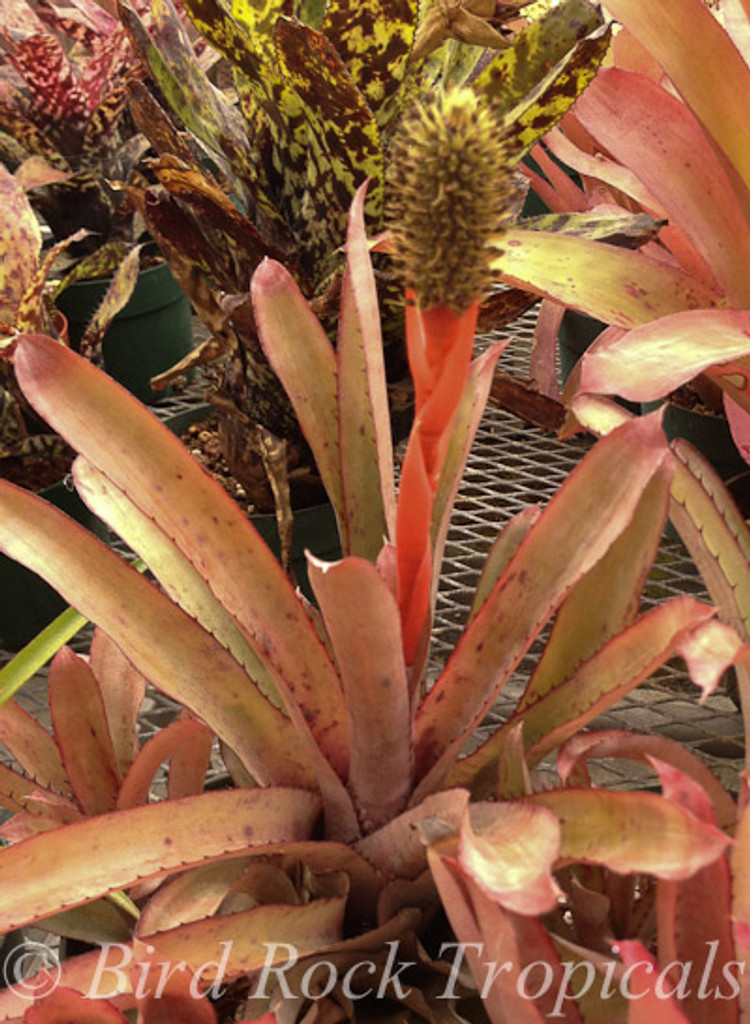 Aechmea pineliana v. minuta