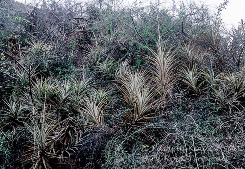 Tillandsia latifolia 'Grande'