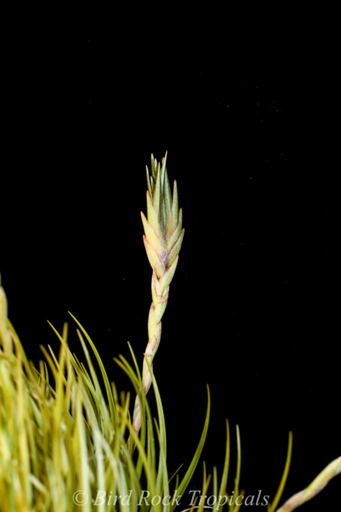 Tillandsia dura (lg. clone, viviparous)