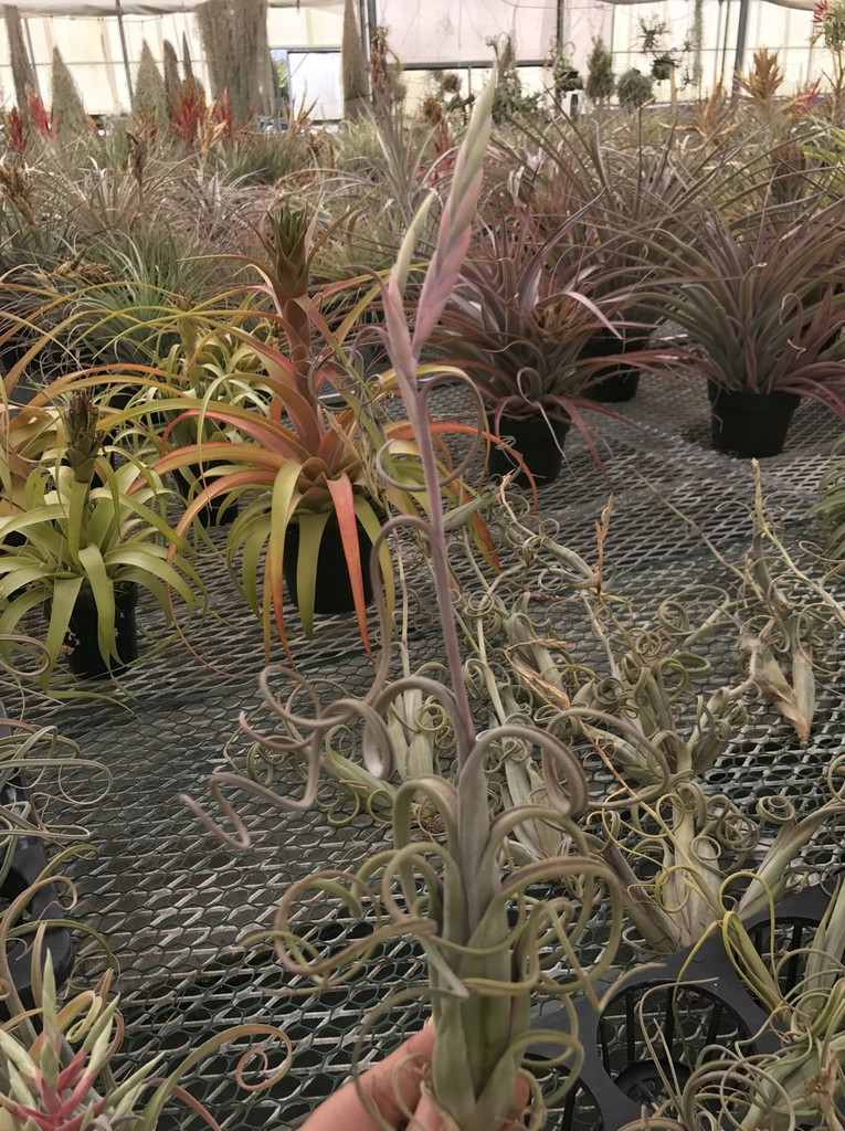Tillandsia intermedia