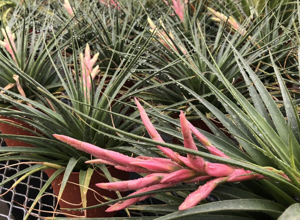 Tillandsia/ Vriesea species = T. kickae