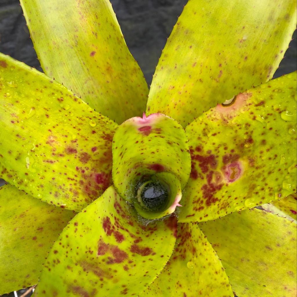 Neoregelia Wee Willy