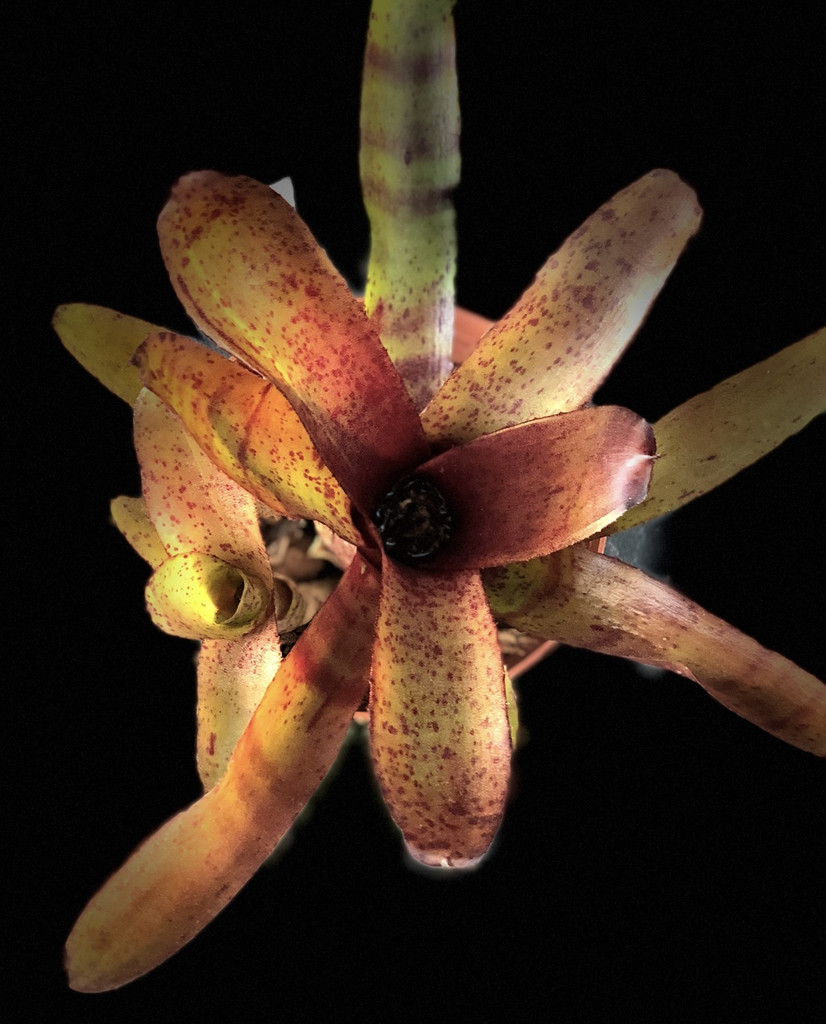 Neoregelia Dartanion